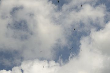 Captive reared juvenile White stork (Ciconia ciconia) flock circling high on thermals soon after release on the Knepp estate, Sussex, UK, August 2019.