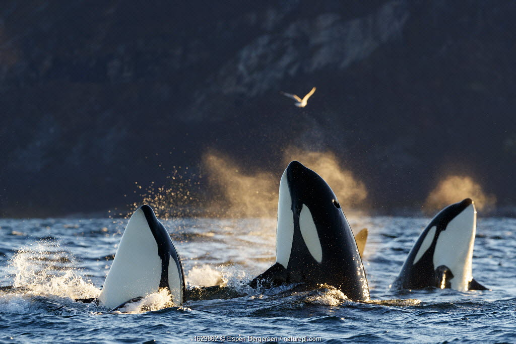 Killer whales / orcas (Orcinus orca). Spyhopping. Kvaloya, Troms, Norway October