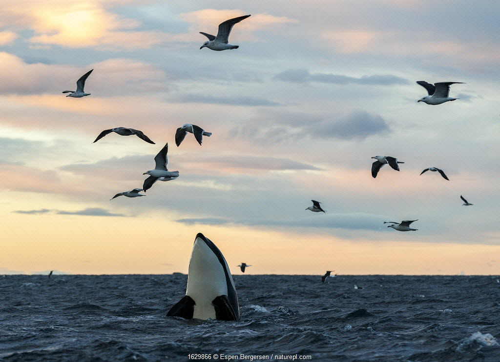 Killer whales / orcas (Orcinus orca). Spyhopping. Kvaloya, Troms, Norway November