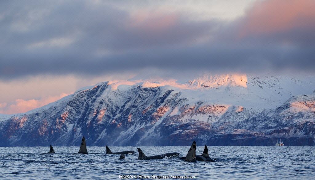 Pod of Killer whales / orcas (Orcinus orca). Kvanangen, Troms, Norway. November