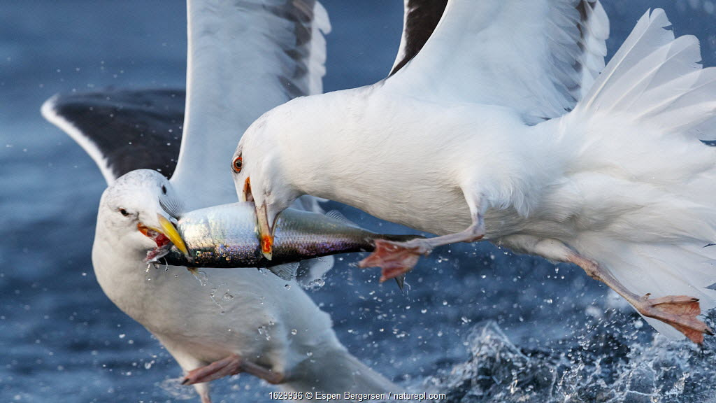 Herring gulls (Larus argentatus) feeding on Herring (Clupea harengus) Troms, Norway.