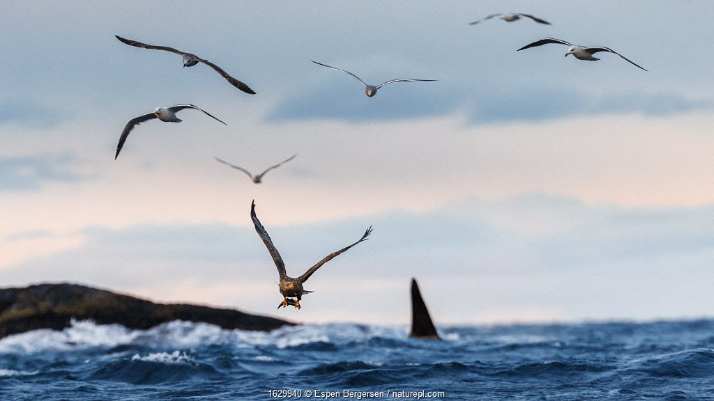 White-tailed eagle (Haliaeetus albicilla) with herring, gulls in air and Killer whale / orca (Orcinus orca) in background. Troms, Norway.