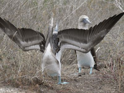 Wide angle shot of a pair of Blue footed boobies (Sula nebouxii) displaying, Galapagos Islands, Ecuador