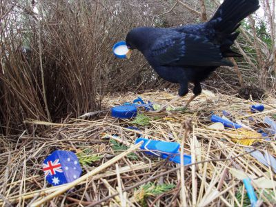 Male Satin bowerbird courting female, bower filled with blue plastic, Australia, October 2018.