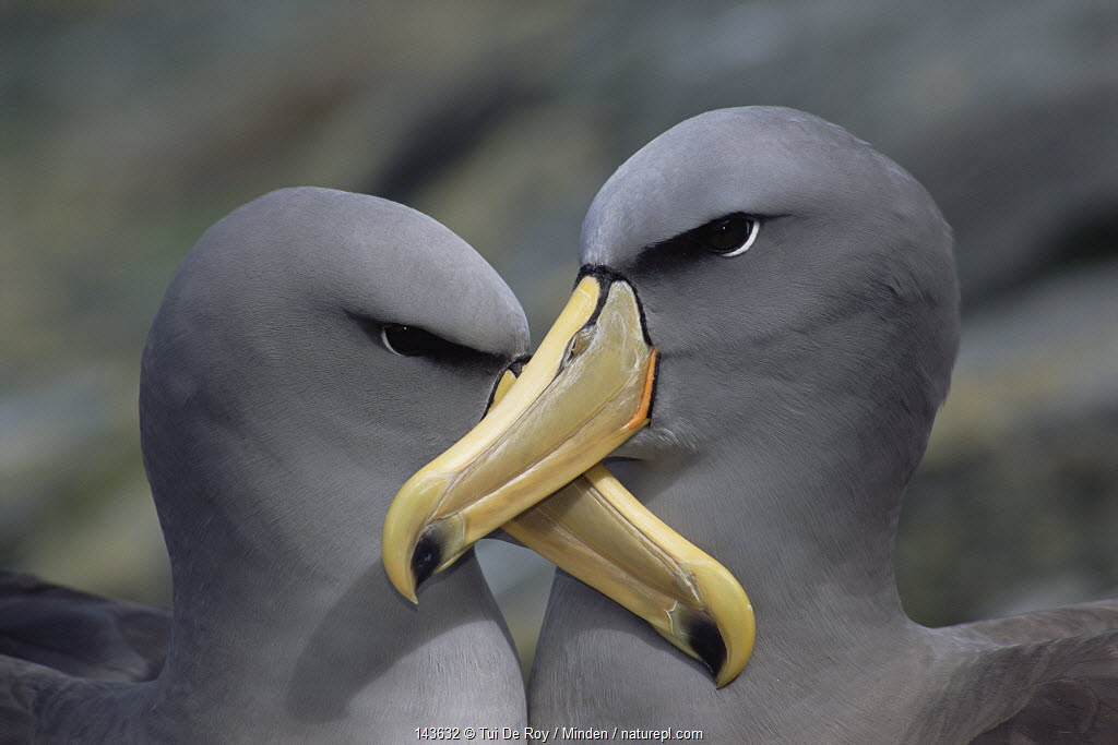 Chatham Albatross (Thalassarche eremita) portrait of two, critically endangered, The Pyramid, Chatham Islands.