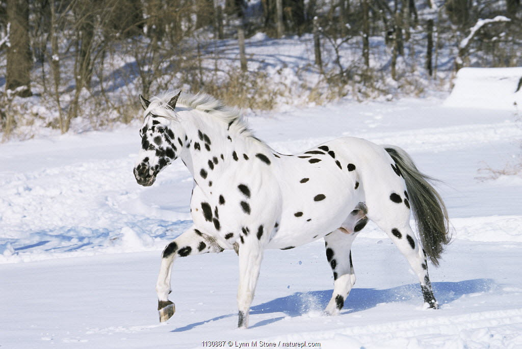 Appaloosa horse trotting through snow {Equus caballus} USA.