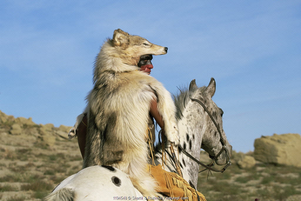 Native American wearing traditional costume with wolf skin, riding Appaloosa horse, Colorado, USA. Model released