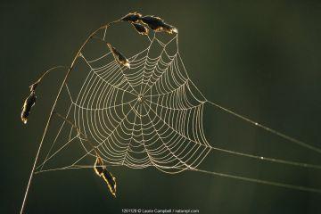 Dew on cobweb, Berwickshire, Scotland, UK, September