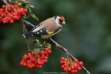 Goldfinch (Carduelis carduelis) perched on Rowan tree branch, Cheshire, UK, September.