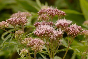 Hemp agrimony (Eupatorium cannabinum) in flower, UK.