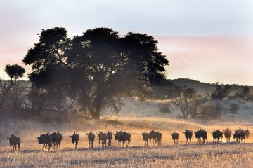 Common wildebeest (Connochaetes taurinus) herd, Kgalagadi Transfrontier Park, South Africa.