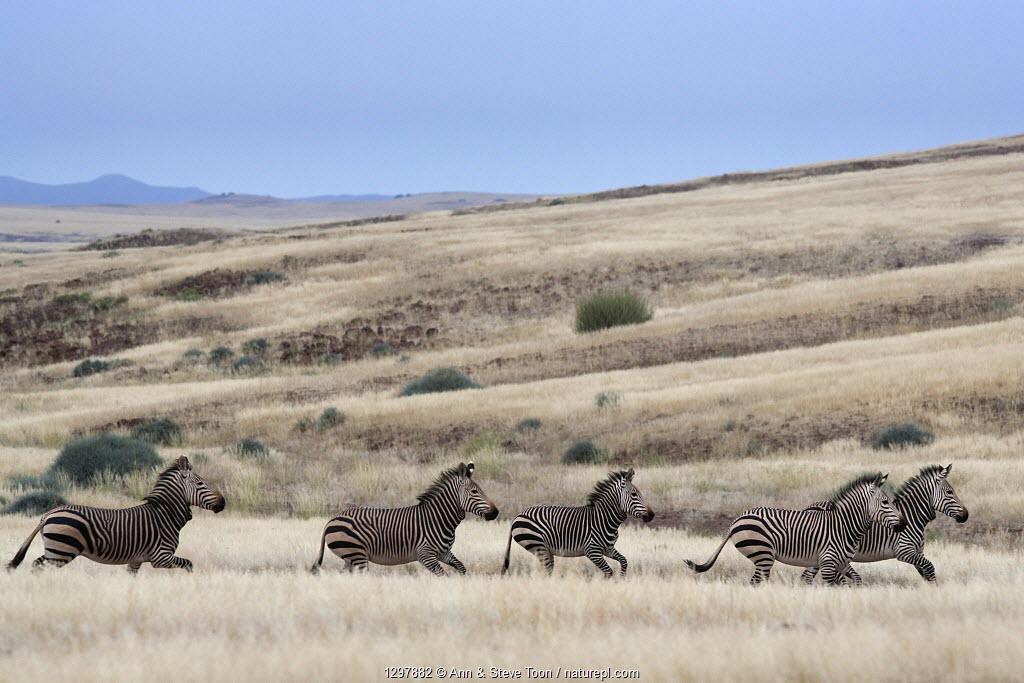 Hartmann's mountain zebra (Equus zebra hartmannae) herd running through savanna Kunene region, Namibia, Africa.