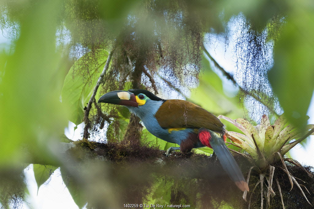 Plate billed mountain toucan (Andigena laminirostris) Bellavista cloud forest private reserve, 1700m altitude, Tandayapa Valley, Andean cloud forest, Ecuador
