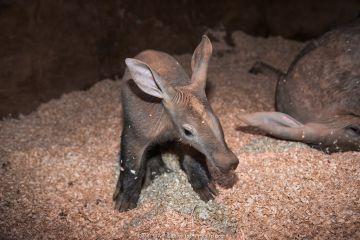 Aardvark (Orycteropus afer) six week old juvenile, Colchester Zoo.