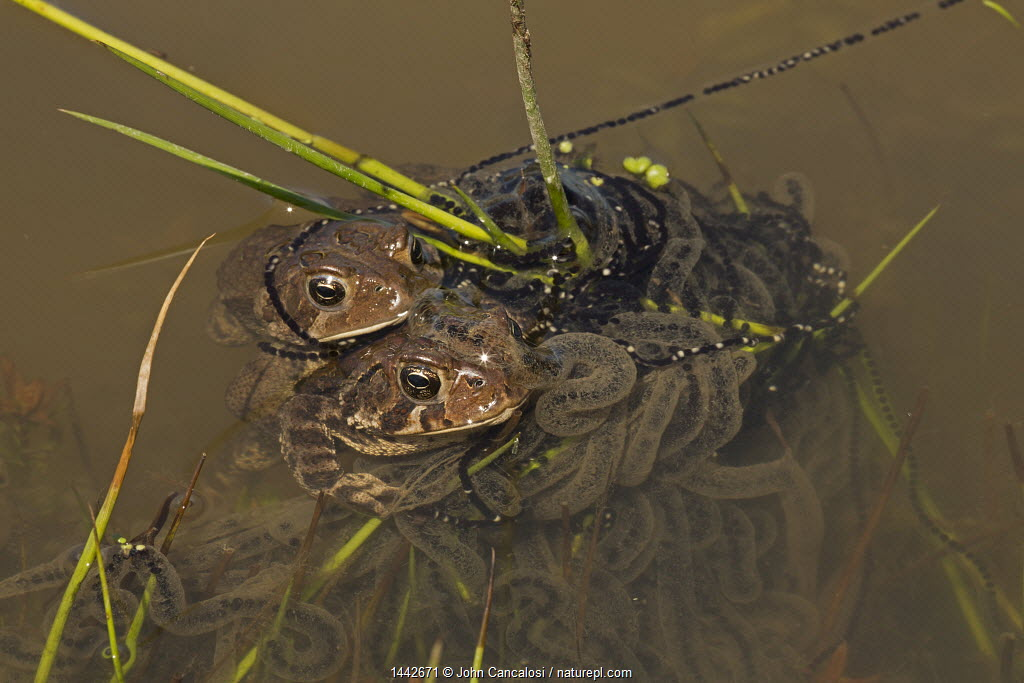 American toad (Anaxyrus americanus) pair in amplexus with female laying eggs, New York, May