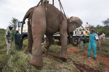 Wild elephant bull, (Loxodonta africana), hoisted into position by crane for vasectomy operation in bush by the Elephant Population Management Program team. Private game reserve in Limpopo, South Africa, April 2011.