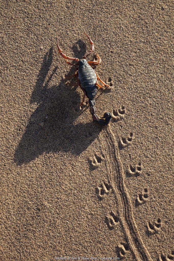 Black hairy thicktailed scorpion (Parabuthus villosus), Namib Desert, Namibia, April.