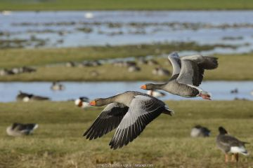 Greylag goose pair (Anser anser) in flight over flooded pastureland with many grazing wildfowl, Gloucestershire, UK, September.
