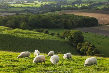Chalk downland landscape with sheep grazing, Cranborne Chase, Wiltshire, England, UK, September 2011.