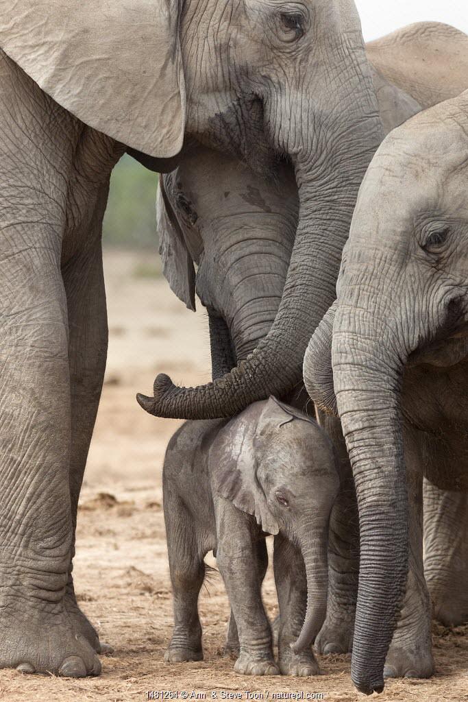 African elephant (Loxodonta africana) newborn calf amongst the herd, Addo Elephant National Park, South Africa, February.