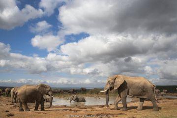 African elephants (Loxodonta africana) at waterhole, Addo Elephant National Park, South Africa, February.