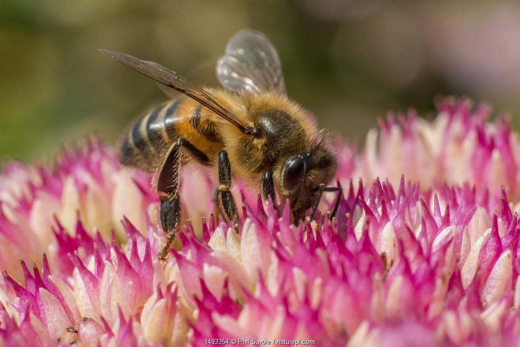 European honey bee (Apis mellifera) feeding on ice plant flowers (Sedum spectabile), Monmouthshire, Wales, UK. September.