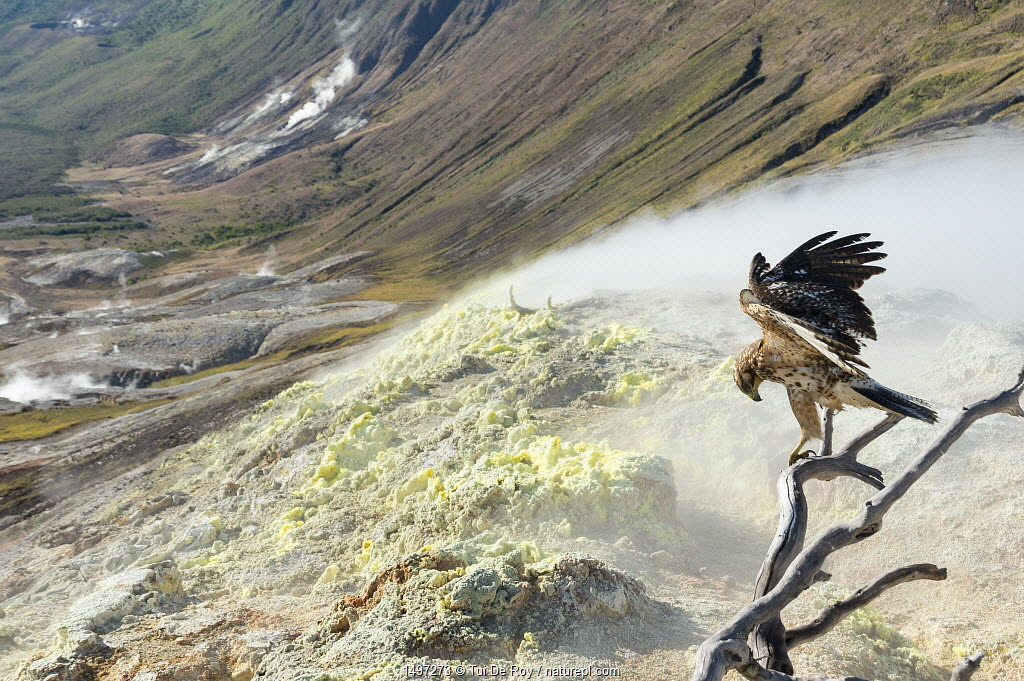 Galapagos hawk (Buteo galapagoensis) perched over sulphurous slope, Galapagos, Ecuador.