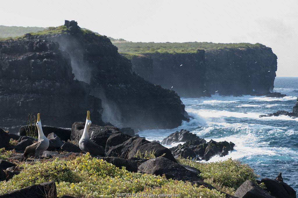 Waved albatross (Phoebastria irrorata) pair displaying on coast Galapagos, Ecuador.