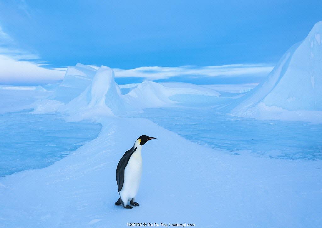 Emperor penguin (Aptenodytes forsteri), Amanda Bay, Prydz Bay, Ingrid Christensen Coast, East Antarctica.