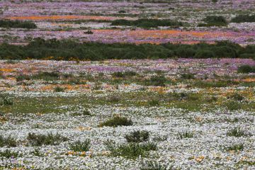 Spring wild flowers, Postberg section, West Coast National Park, Western Cape, South Africa, September 2015.