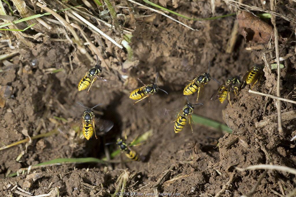 Common wasp (Vespula vulgaris) flying to nest entrance, England, UK, September.