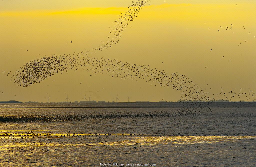 Flock of wading birds flying over The Wash, at dusk, Norfolk, UK, September 2008.