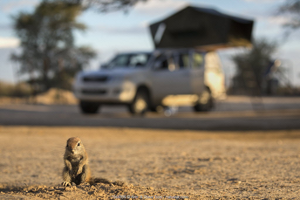 Ground squirrel (Xerus inauris) young pup sitting on camp site, Kgalagadi Transfrontier Park, Northern Cape, South Africa.