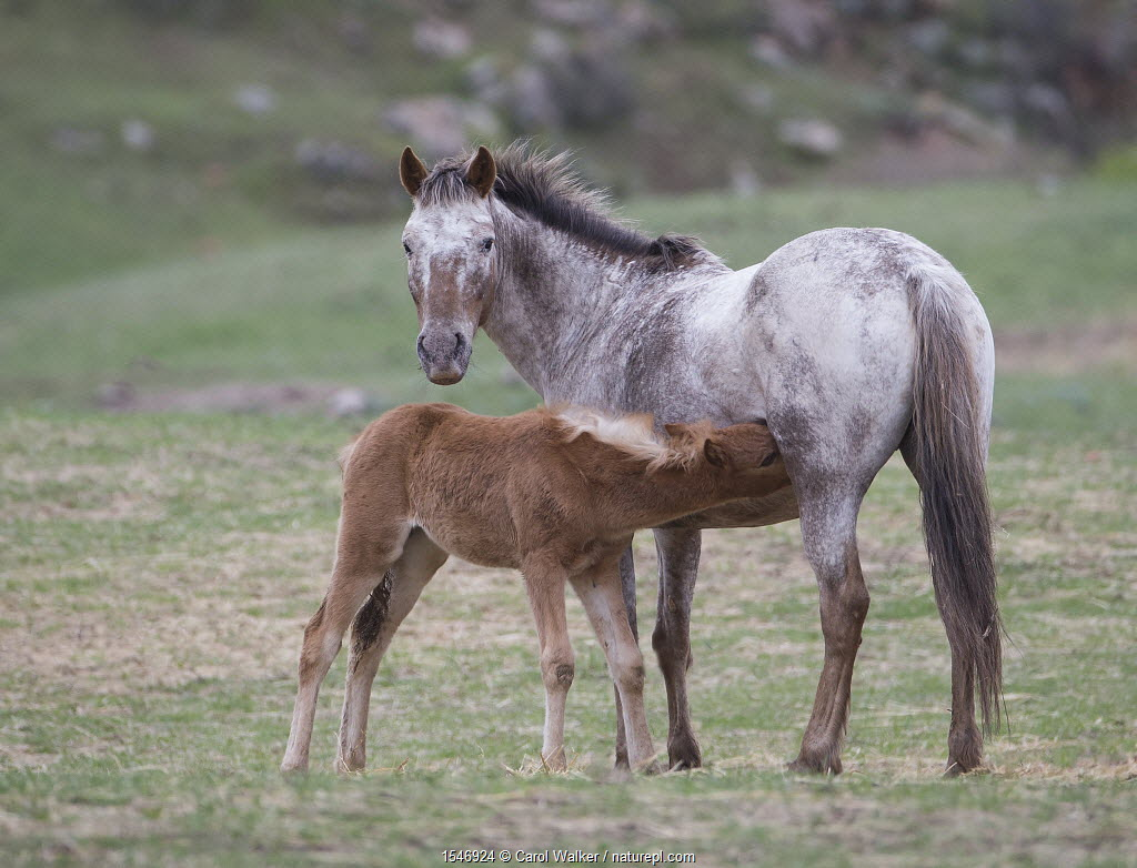 Formerly wild Appaloosa mare nursing filly at Black Hills Wild Horse Sanctuary, South Dakota, USA. May.