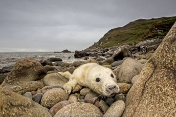 Grey seal (Halichoerus grypus) pup hauled out on rocky beach, west coast of Scotland, September.
