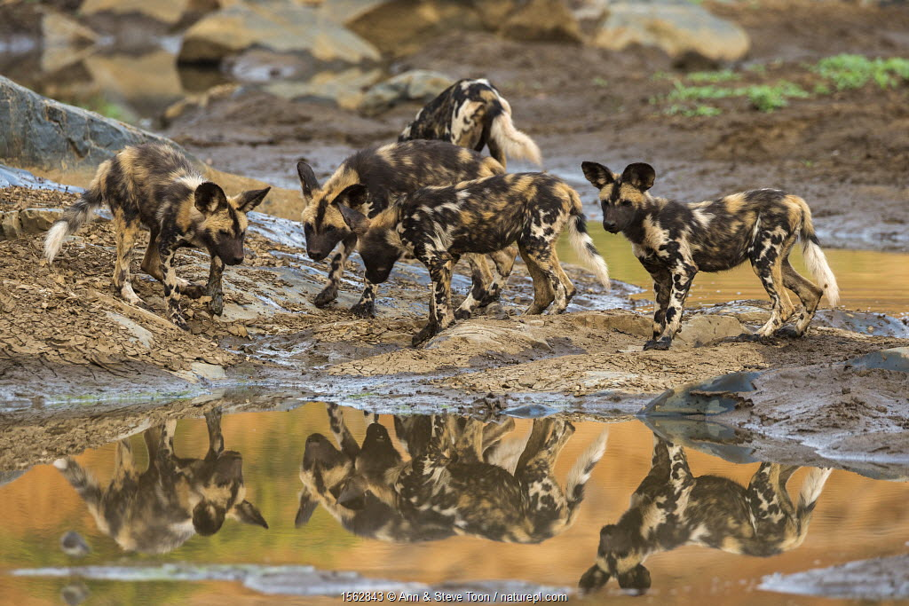 African wild dog (Lycaon pictus) pups from pack exploring, Zimanga private game reserve, KwaZulu-Natal, South Africa, September