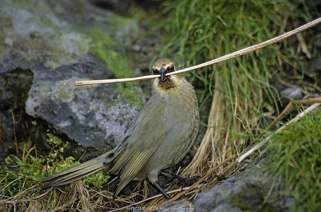 Gough Island bunting (Rowettia goughensis) gathering nesting material. Gough Island, Gough and Inaccessible Islands UNESCO World Heritage Site, South Atlantic.