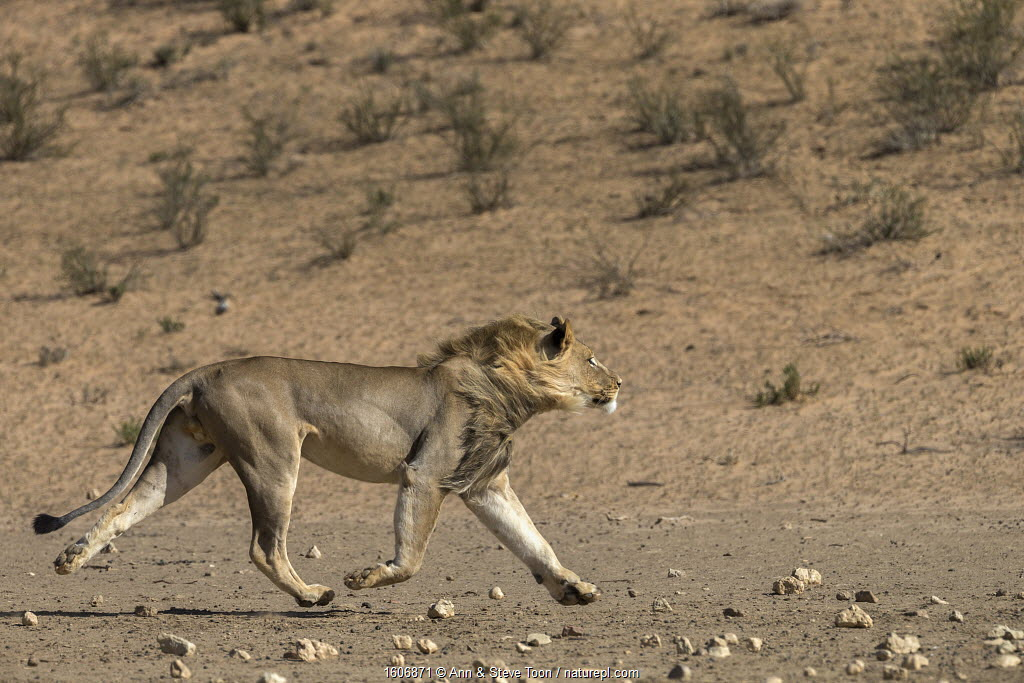 Lion (Panthera leo) male running in desert, Kgalagadi Transfrontier Park, South Africa.