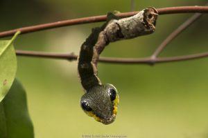 Sphinx hawk moth (Hemeroplanes triptolemus) caterpillar, snake mimic species, Amarakaeri Communal Reserve, Maijuna, Rio Napo, Peru