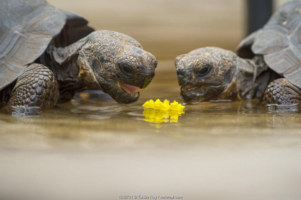 Floreana giant tortoise hybrid descendants (Chelonoidis elephantopus) feeding on flower. Galapagos.