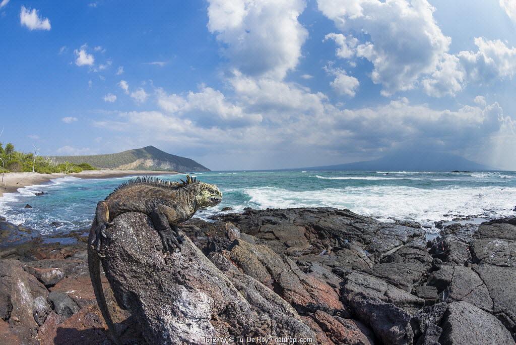Marine iguana (Amblyrhynchus cristatus) on shore, Punta Moreno, Isabela Island, Galapagos.