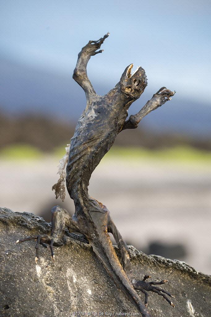 Marine iguana (Amblyrhynchus cristatus) starved to death due to El Nino effect, Puerto Ayora / Academy Bay, Santa Cruz Island, Galapagos.