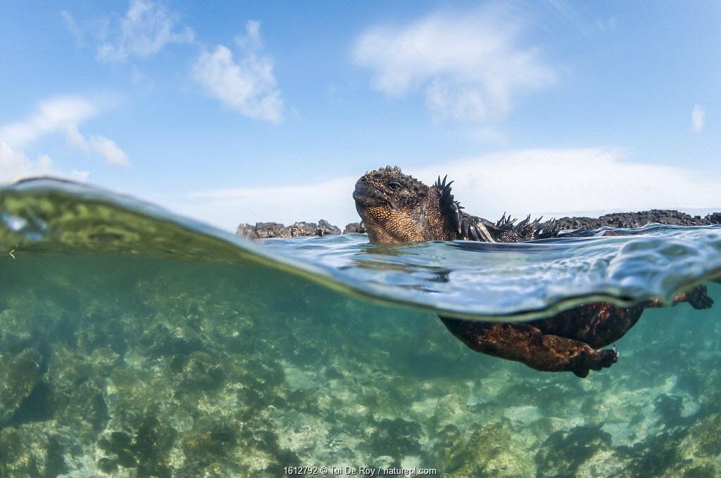 Marine iguana swimming (Amblyrhynchus cristatus), Punta Espinosa, Fernadina Island, Galapagos.