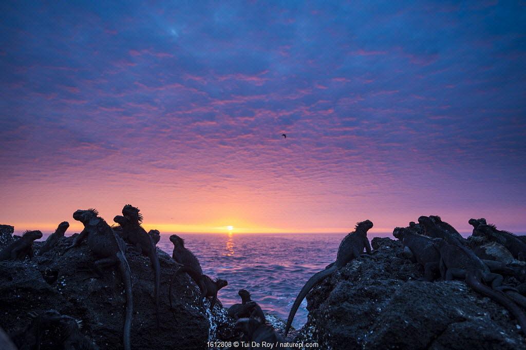 Marine iguanas (Amblyrhynchus cristatus) silhouettes at sunset, Punta Vicente Roca, Isabela Island, Galapagos.