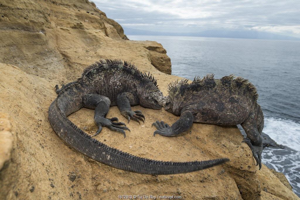 Marine iguana (Amblyrhynchus cristatus), Punta Vicente Roca, Isabela Island, Galapagos.