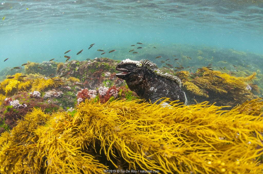 Marine iguana (Amblyrhynchus cristatus) in water, Puerto Egas, Santiago Island, Galapagos.