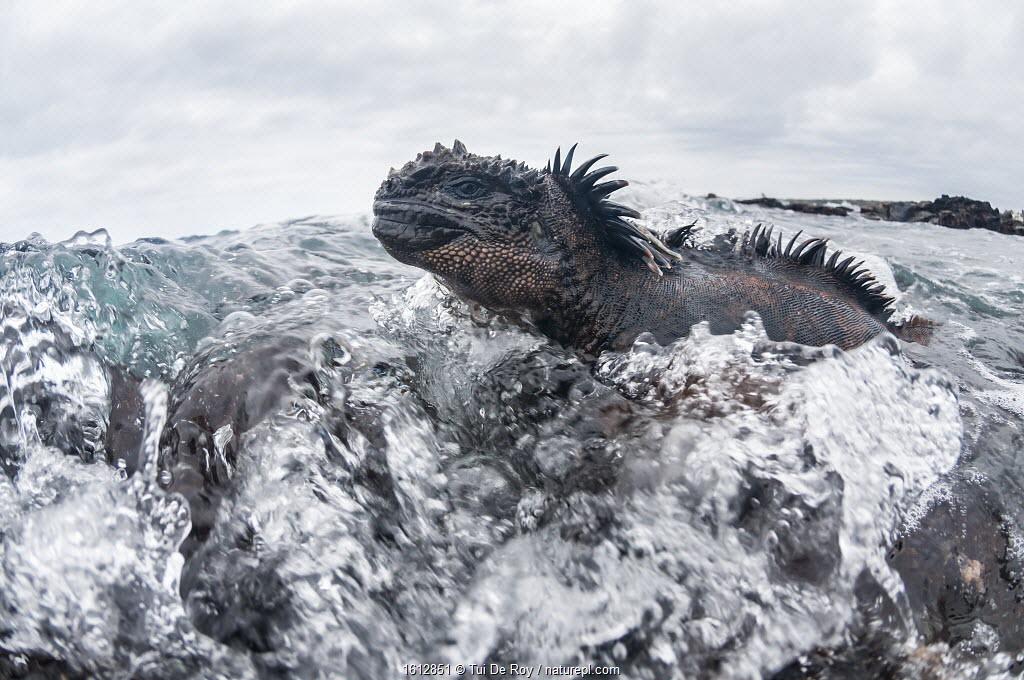 Marine iguana (Amblyrhynchus cristatus) in the surf, Black Beach, Floreana Island, Galapagos.