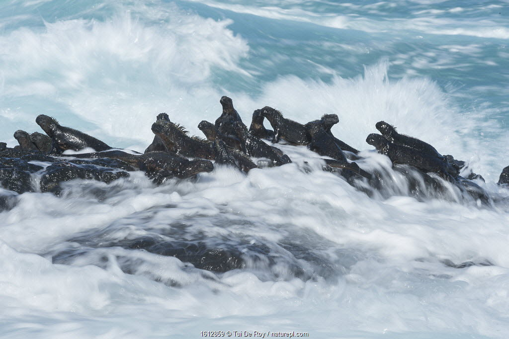Marine iguana (Amblyrhynchus cristatus) group on rock in the waves, Cape Hammond, Fernandina Island, Galapagos.