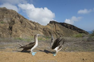 Blue-footed booby (Sula nebouxii), pair in courtship display. Punta Pitt, San Cristobal Island, Galapagos.