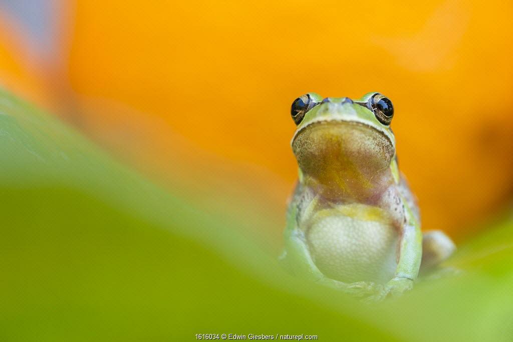 Lemon-yellow tree frog (Hyla savignyi) Cyprus. April.